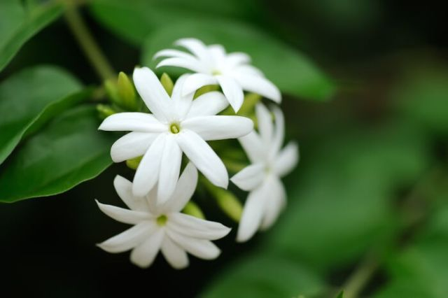 Group of white Sampaguita Jasmine or Arabian Jasmine ** Note: Shallow depth of field